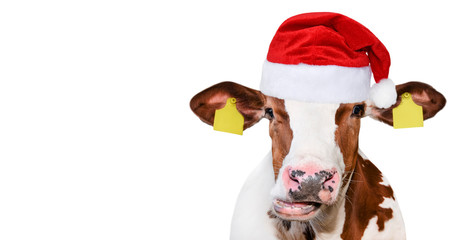 Poster Cow Funny cow isolated in Christmas hat.