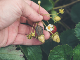 hand holding a strawbery with Botrytis fruit rot or gray mold