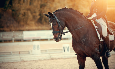 Equestrian sport. Portrait sports brown stallion in the bridle. The leg of the rider in the...