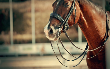 The muzzle is sports brown stallion in the bridle. Dressage horse.