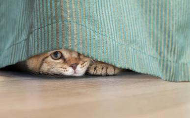 Papier Peint - funny cat hidden under curtain