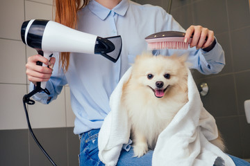 happy redhaired ginger woman blowing dry the spitz dog hair wiping with a bath towel in the grooming salon