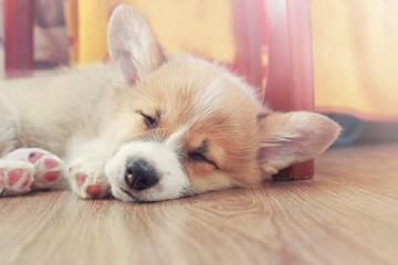 cute little Corgi dog puppy with big ears is lying on the floor and sleeping sweetly