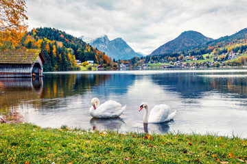Foto op Aluminium Zwaan Two white swans on the Grundlsee lake. Amazing morning scene of Brauhof village, Styria stare of Austria, Europe. Colorful panorama of Alps. Traveling concept background.
