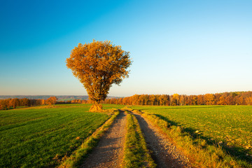 Rural Landscape in Autumn, Oak Tree besides Farm Track through Fields, Leaves Changing Colour