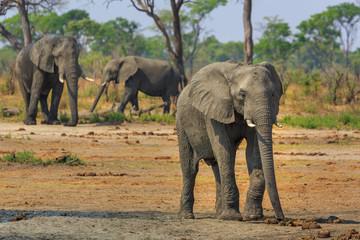 Aluminium Prints Elephant Elephants in Khaudum National Park - Namibia