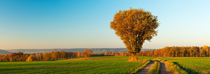 Panorama of Oak Tree besides Farm Track through Fields in Autumn, Leaves Changing Colour