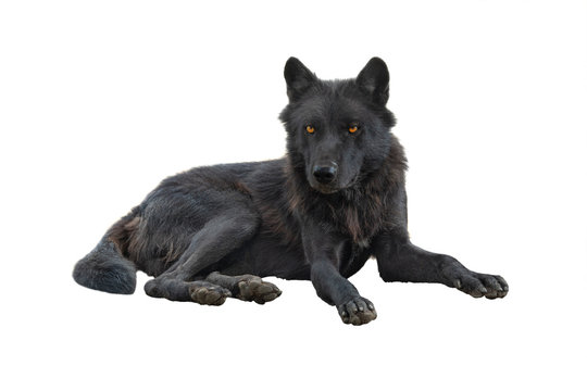 canadian wolf isolated on white