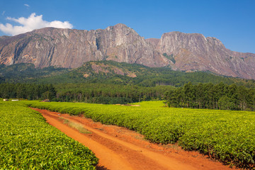 Tea plantation in Mulanje Massif - Malawi