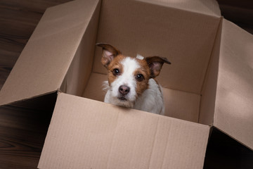 dog in a box. moving. Pet at home. Funny jack russell terrier. Mail, package, gift