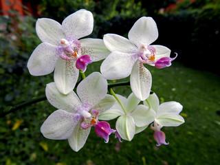 Aluminium Prints Orchid orchidee bianche fiorite in primo piano nel giardino