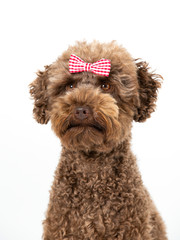 Funny dog picture. Australian labradoodle posing with bow or tie, isolated on white. Humor, copy space. dog card concept image.