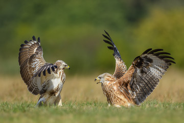 Red Kite vs Common Buzzard/on the meadow Wall mural