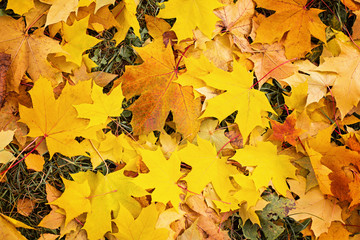 Yellow autumn leaves Beautiful autumn leaves yellow branches abstract background, leaf fall concept - Image