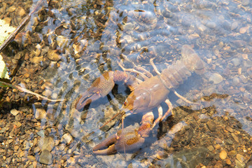 River crayfish in its natural habitat.