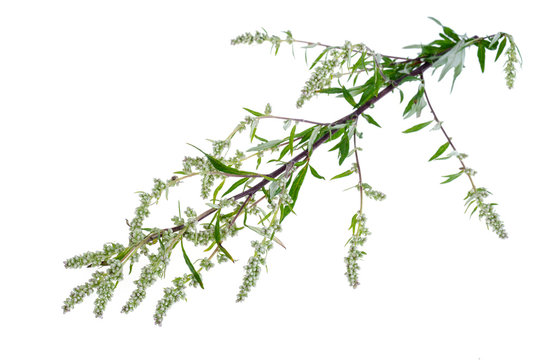 Artemisia absinthium with leaves isolated on white background