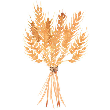 Hand drawn watercolor  yellow wheat ears bouquet illustration.