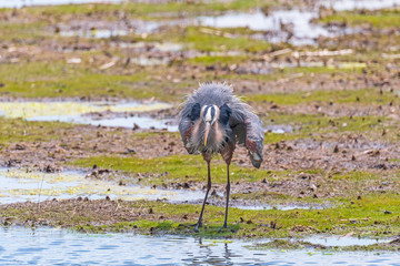 Great Blue Heron Displaying his Feathers