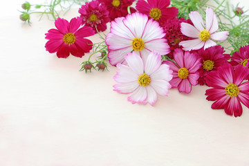 Wall Mural - Beautiful cosmos flowers on pale pink background