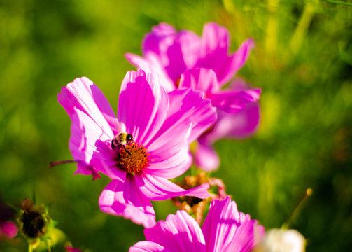 A bumble bee on a pink Zinnia flower