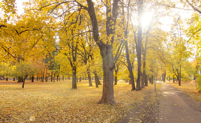 Fall scene with large trees in the park and yellow leaves with a path, sunlight shining through with glare