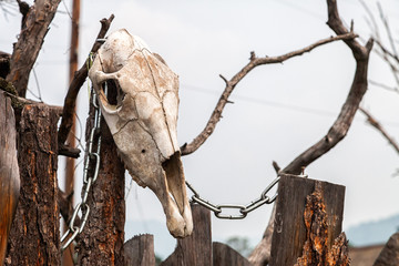 Close-up of a white cow skull with horns on a wooden stump in the background forest and mountain ,  pitchfork on top