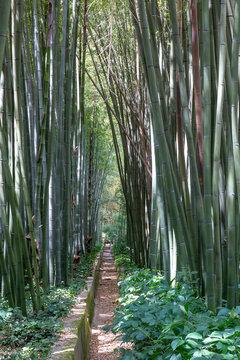 Bambous à la bambouseraie d'Anduze, Gard, France