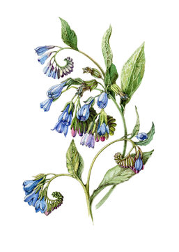 Blue comfrey flower vintage botanical style watercolor illustration. Hand drawn symphytum, medical herb with flowers and leaves. Isolated on white background.