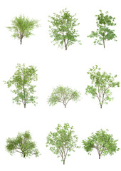 Japanese maple tree spring season on a white background with clipping path.Realistic 3D rendering....
