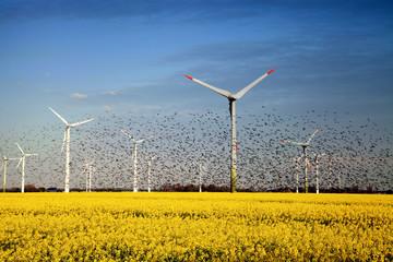 GERMANY, Ein großer Vogelschwarm vor vielen Windkraftanlagen Fotoväggar