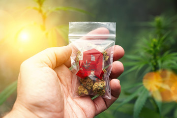 Hand showing Cannabis buds in a plastic bag with drugstore sign. Concept of herbal alternative medicine, cbd oil, pharmaceutical industry or illegal drug use