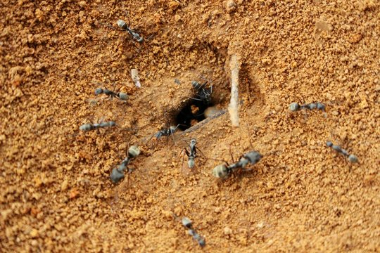 Black ant leaves the nest on the ground to find food in the morning