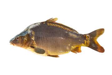 Big mirror carp isolated on white background