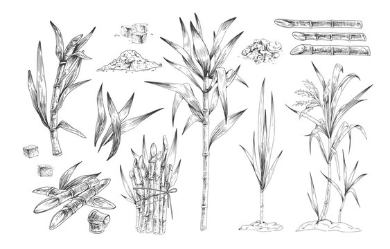 Sugar canes hand drawn vector illustrations set. Sugarcane trees, growing plant branches engravings pack. Rum ingredient black and white drawing. Plantation harvest isolated on white background.