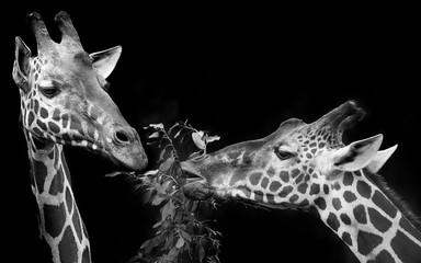 giraffes portrait in black and white