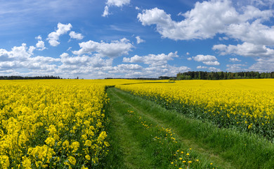 Wiesenweg durch gelb blühende Rapsfelder Fotoväggar