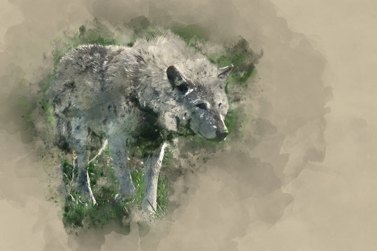 Digital watercolor painting of Beautiful Timber Wolf Cnis Lupus stalking and eating in forest