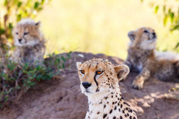 Close up at a Cheetah with her cubs in the shadows