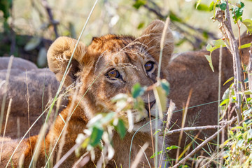 Young lion cub looking at the camera between the grass blades
