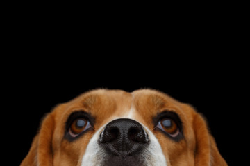 Closeup Portrait of Beagle Dog peeking nose Isolated on Black Background in studio