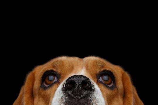 Closeup Portrait of Beagle Dog peeking nose Isolated on Black Background in studio