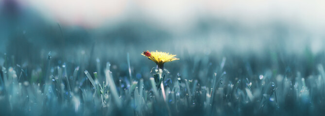 Abstract floral image for design. ladybug on a yellow dandelion on a background of grass in the sunlight.
