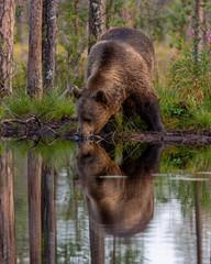 Drinking Bear