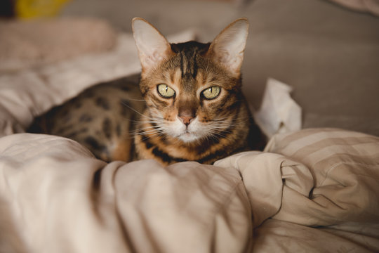 bangle cat on bed