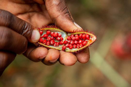 Man holding open achiote fruit