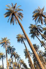 Palm trees plantage
