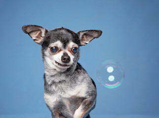 cute chihuahua looking at a bubble in a studio setting