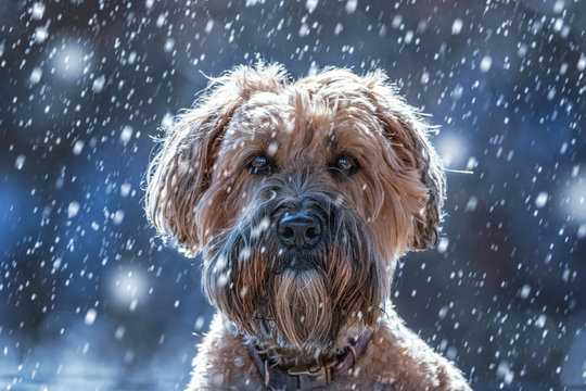 cute shih tzu outside in the snow on a cold winter day