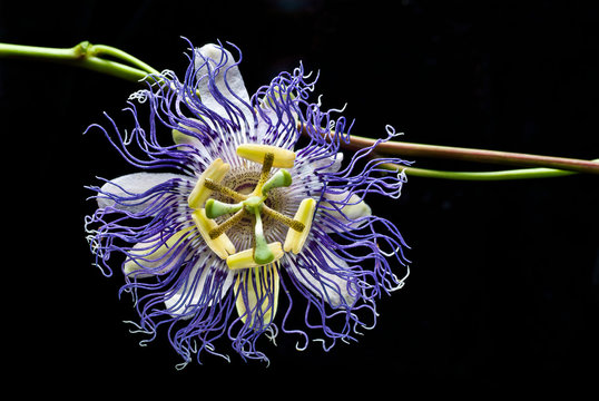 """Purple passion flower (Passiflora incarnata)--also called """"maypop""""--is one of the only species of passion flower native to North America, and the one species found farthest north."""