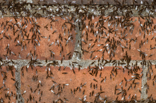 """""""Pavement"""" ants (Tetramorium caespitum) swarming on brick wall before taking off to mate and establish new colony.  Common pest introduced to North America from Europe during the 1700s and 1800s."""